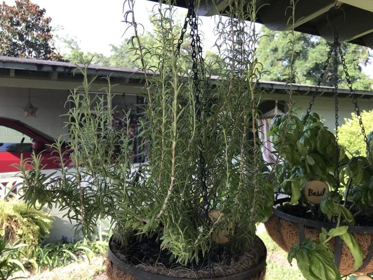 Rosemary-1